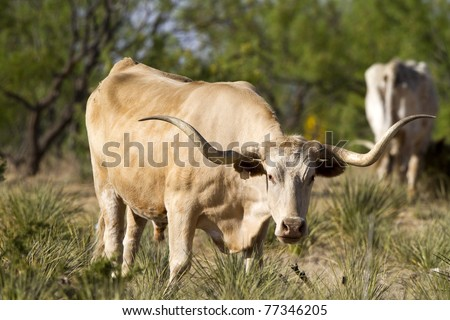Longhorn Steer grazing at Palo Duro Canyon State Park in the Texas Panhandle - stock photo