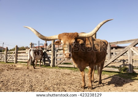 Longhorn steer in Fort Worth Stockyards. Texas, United States - stock photo