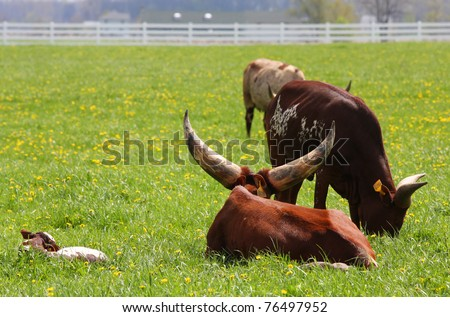 Longhorn steers in a pasture grazing with a calf - stock photo