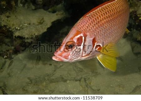 longjawed squirrelfish (sargocentron spiniferum) - stock photo