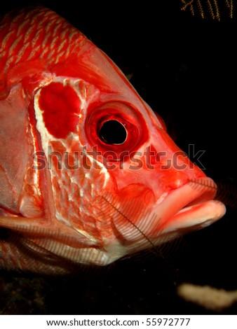 Longjawed squirrelfish. (Sargocentron spiniferum) - stock photo