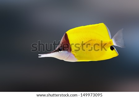 Longnose butterflyfish ( Forcipiger flavissimus ) - stock photo