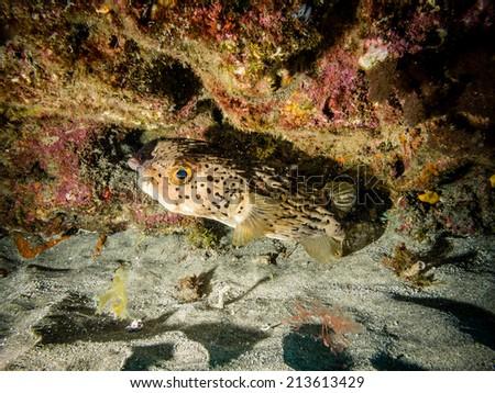 Longspined porcupinefish - stock photo