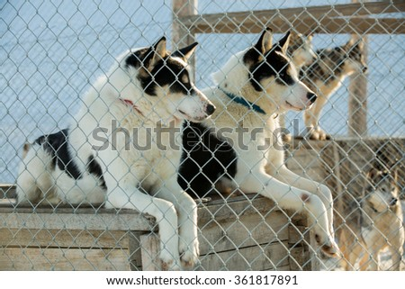 LONGYEARBYEN, SPITSBERGEN, NORWAY. Arctic sled dogs in their kennel, North pole, Svalbard - stock photo