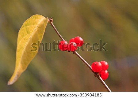 Lonicera maackii red spherical fruit in a park, closeup of photo