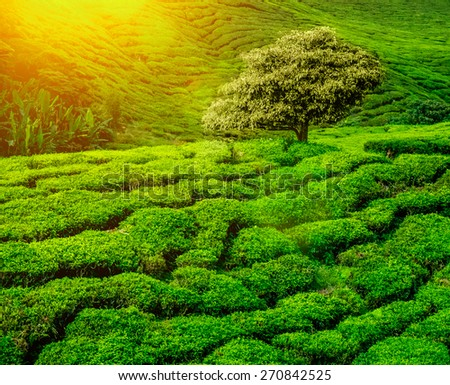 Lonley tree on tea plantation in the Cameron Highlands, Malaysia - stock photo