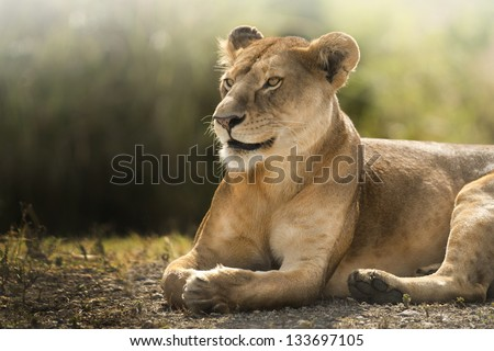 look of a lioness - stock photo