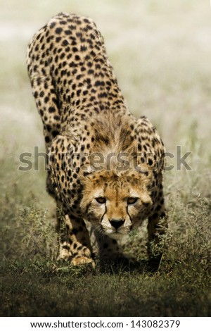 look of cheetah - stock photo