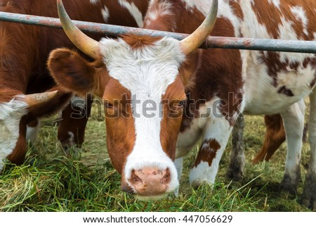 Look the cow in the paddock. Breeding farm animals for products. Pastoral picture on the cattle country. Animals on pasture. Herd of colorful cows to ranch. Good cute ruminants even-toed ungulates.