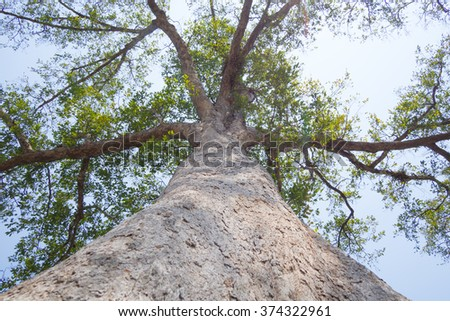 Look up on old following tree trunk to the top - stock photo