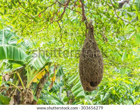 Look up to weaver bird nests at the branch of high tree