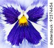 Looking at the angel like pattern at the centre of a blue pansy. - stock photo