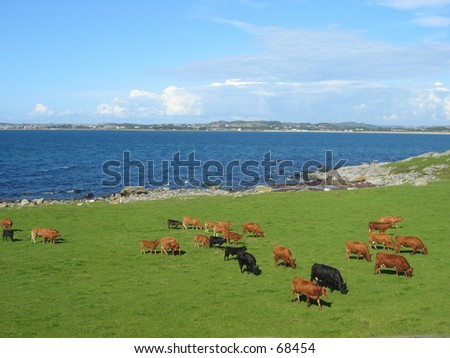 Looking at the cows. - stock photo