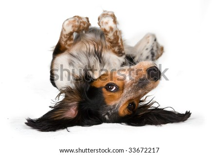 Looking at the world from a different perspective - Cute dog laying upside down isolated on white - stock photo
