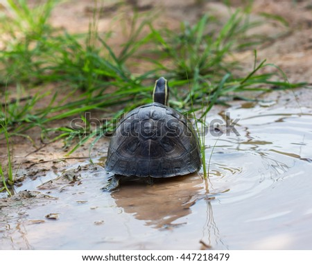 Looking back Turtle in nature