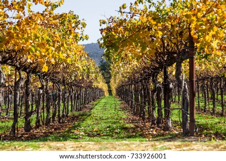 Looking between two rows of manicured grape vines with bright autumn leaves lit by sunshine in Napa Valley, California.