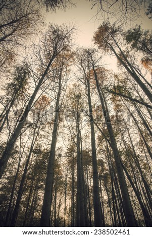 Looking cedar forest sky - stock photo