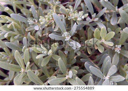 Looking down at a growing lavender plant that fills the frame of the image. - stock photo