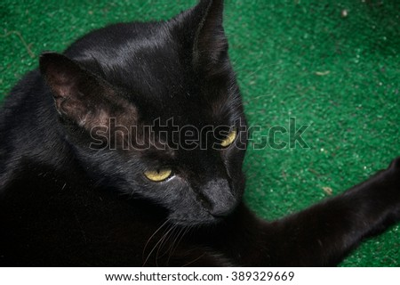 Looking down at beautiful rare Havana Brown cat, the animal is covered with sand and appears to be a black cat. - stock photo