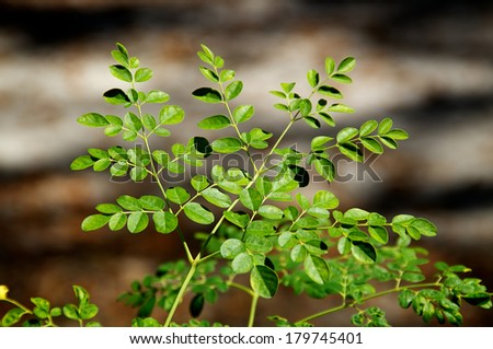 Looking down at the leaves at the top of a young moringa tree, used for alternative medicine.  - stock photo