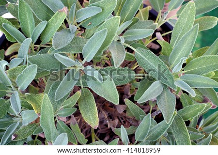 Looking down on a healthy organic garden sage plant growing in a pot. - stock photo