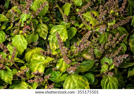 Looking down on a lush and vibrant patchouli plant in bloom with long stalks and deep depth of field. - stock photo