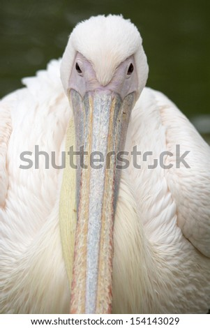 Looking down the nose of a pelican - stock photo