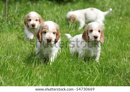 Looking English Cocker Spaniel puppy - stock photo