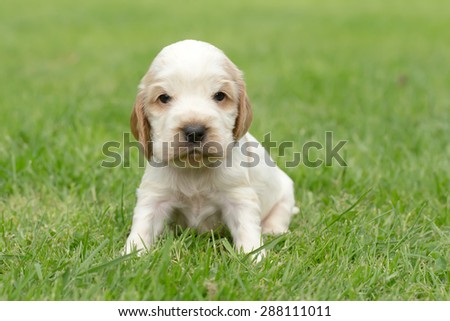 Looking English Cocker Spaniel puppy, 24 days old outdoor on green grass - stock photo