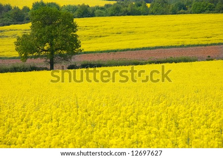 Looking over a rural landscape of golden yellow fields of rapeseed to a single tree - stock photo