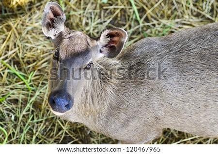 Looking Samba Deer. Thsi deer has scientific name is Cervus Unicolor. - stock photo