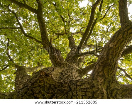 Looking straight up at the sky along the trunk of this big oak tree - stock photo