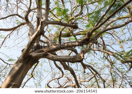 Looking straight up big branch of  Flame tree in summer  - stock photo