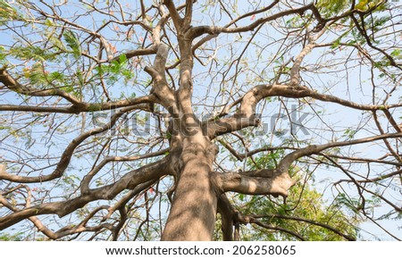 Looking straight up the trunk of Flame tree in summer  - stock photo
