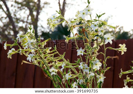 looking towards a bunch of nicotiana alata  flowers, five pointed white fragrant blossoms with picket fence.
