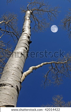 Looking up a birch tree - stock photo