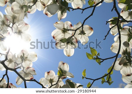 Looking up and through the dogwood blooms into the sun and beautiful blue sky. - stock photo