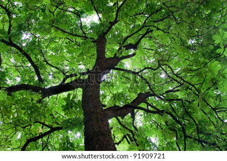 Looking up at a beautiful green colored tree - stock photo
