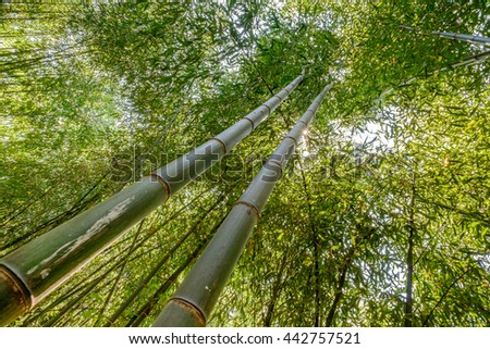 Looking up at a forty foot stalk of a Bamboo tree - stock photo