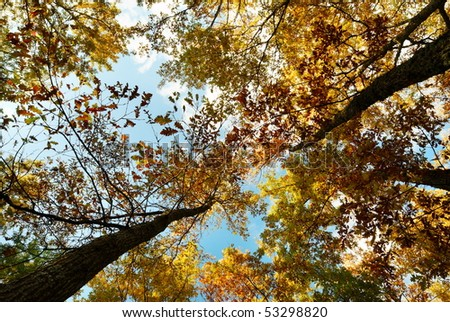 Looking up at a golden autumn oak trees - stock photo