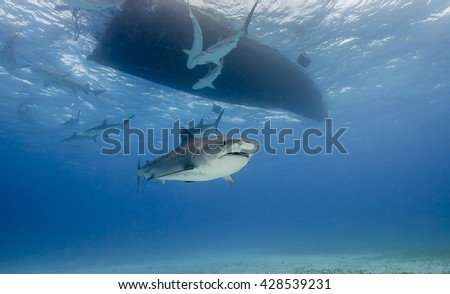 Looking up at a tiger shark as it swims under a boat during a shark dive in the Bahamas.