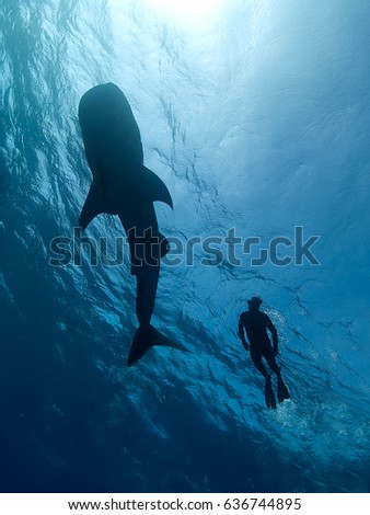 Looking up at a whale shark silhouette swimming just below the surface with a snorkeler swimming alongside