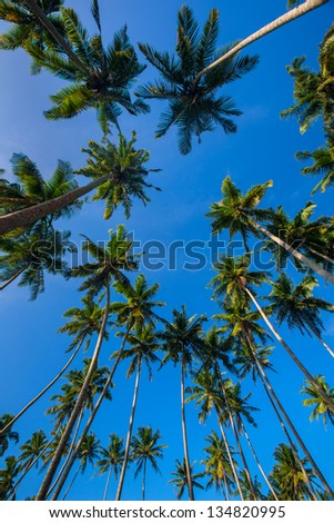 Looking up at palm trees against a blue sky - stock photo