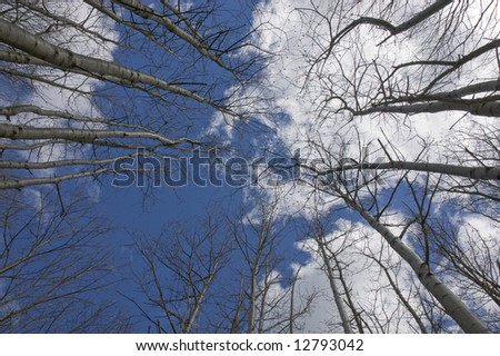 Looking up at silver berch tree tops - stock photo