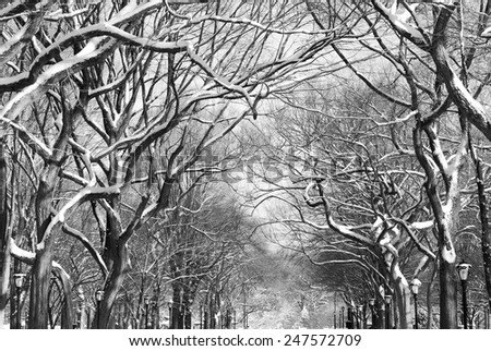 Looking up at snow covered sycamore tree branches on The Mall in Central Park. - stock photo