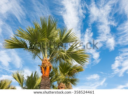 Looking up at Southern California palm trees against blue sky and cloudscape. Perrspective view from under the tree. High white wispy cirrus clouds stretching across the sky.  - stock photo