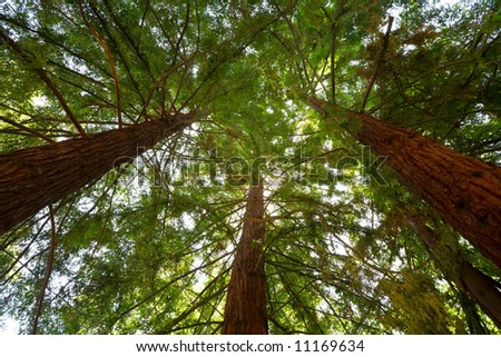 Looking Up at Sunlight Filtering through Redwood Trees - stock photo