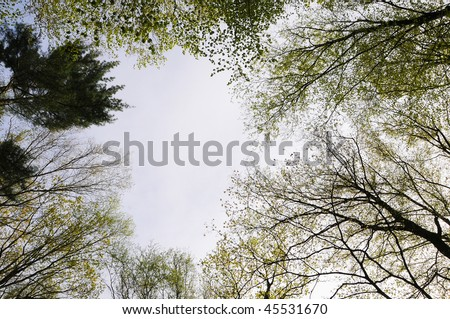 Looking up at the sky through the spring trees.