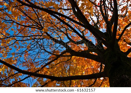Looking up at the sky up a huge maple tree - stock photo