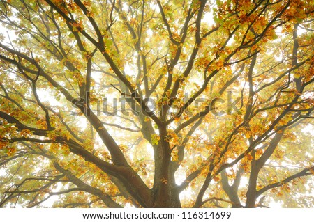 Looking up at the sky up a huge oak tree in autumn misty morning - stock photo